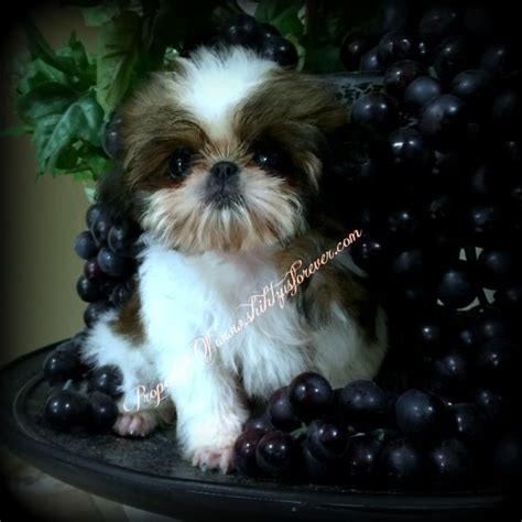 imperial shih tzu puppies for sale florida best 25 shih tzu for sale ideas on puppies for sale teacup dogs for