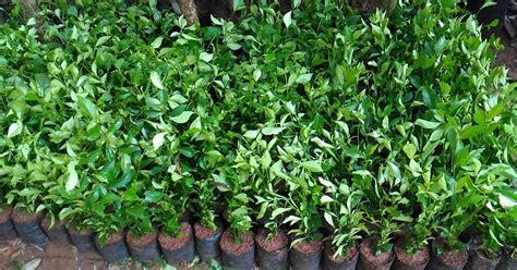 jual tanaman pagar jual tanaman hias  pagar jual