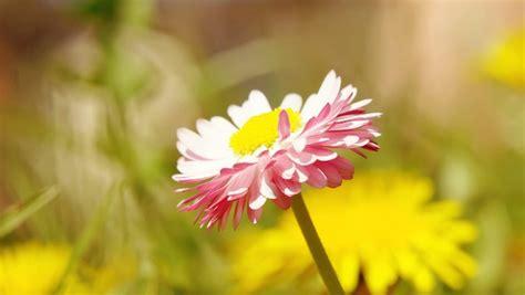 wallpaper bunga krisan gambar bunga krisan di hari yang cerah pernik dunia