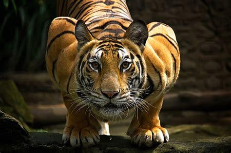 minicuentos de tigres y los tigres y su atractivo salvaje en 20 fotograf 237 as