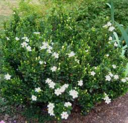 Gardenia Jasminoides Veitchii Everblooming Gardenia Jasminoides Veitchii