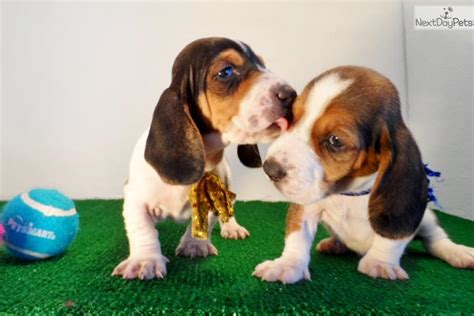 basset hound puppies for sale in california basset hound puppy for sale near san diego california b4db5632 85b1