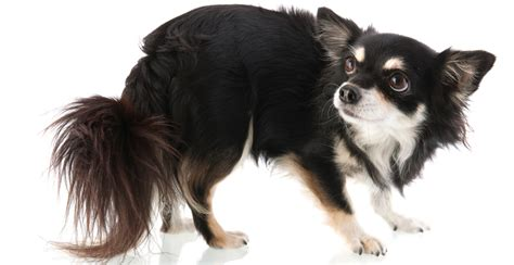 long hair chihuahua hair growth what to expect which breed of puppy looking at the chihuahua the happy