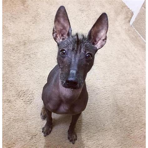 xoloitzcuintli puppies for sale 9 month standard xoloitzcuintli for sale in green bay wisconsin puppies for sale