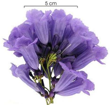 imagenes de flores jacaranda c 243 mo germinar semillas de jacaranda cyberdocentes