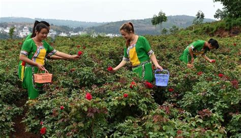 information about rose farming farming profit process and business information guide for farmers