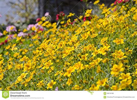 yellow garden flowers yellow garden cosmos flowers stock photo image 58218188