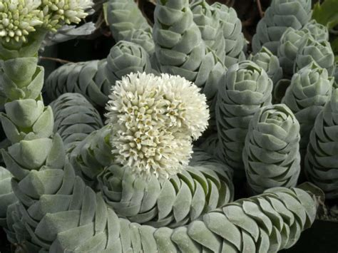 crassula pangolin world  succulents