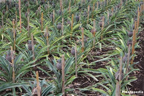 wann ist ananas reif ananas ziehen ananas selbst ziehen ananas selbst ziehen