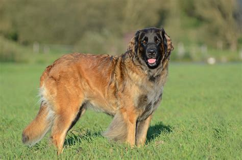 File:Leonberger Huendin.JPG - Wikimedia Commons