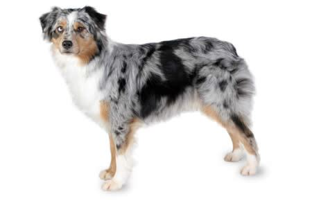 Do Australian Sheep Dogs Shed by Australian Shepherd Breed Information Pictures