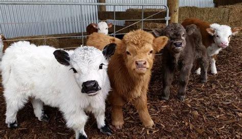 google imagenes vacas los terneros mas lindos de internet taringa