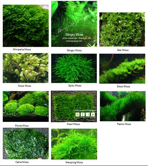 Semua Jenis Mos the of underwater moss