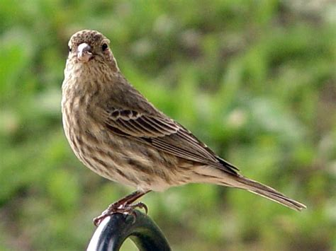 house finch diet eight common winter backyard birds