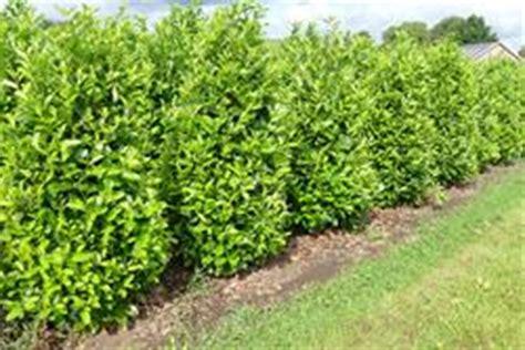 Kirschlorbeer Rotundifolia Kaufen by Kirschlorbeer Direkt Vom Pflanzenversand Der Baumschule