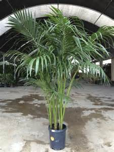 Flowers And Plant Care - kentia palm care metropolitan wholesale metropolitan