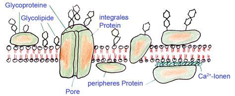 m protein definition diffusion durch eine membran