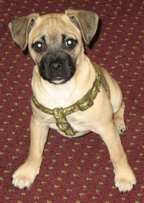 pug mix puppies for sale the 25 best ideas about jug puppies for sale on pug mix puggle puppies
