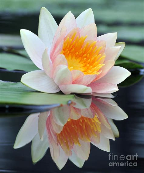 lotus with water white lotus water with reflection photograph