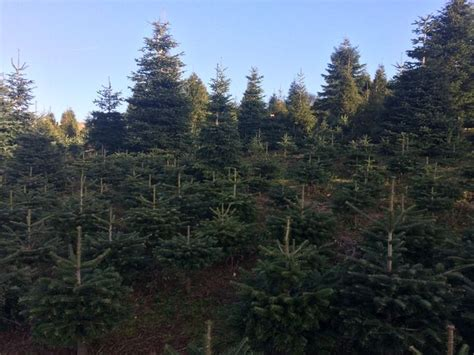 behind the scenes as devon s biggest christmas tree grower