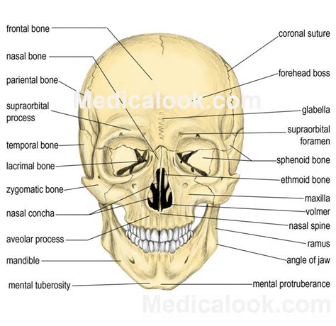 skull anatomy diagram human anatomy diagram