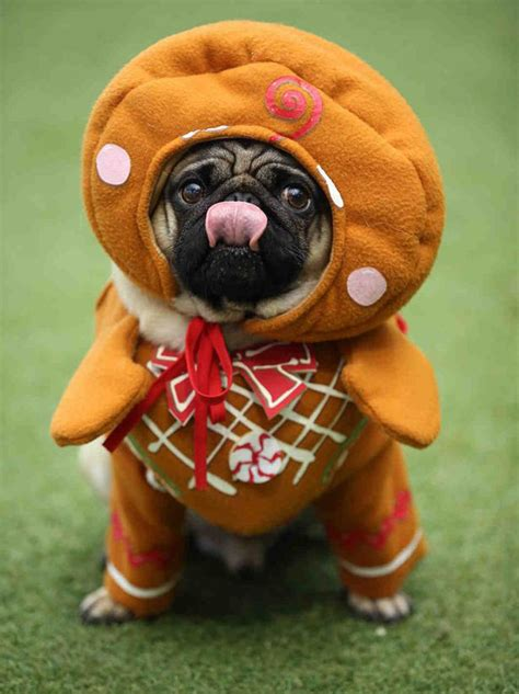 pictures of pugs in costumes 10 adorable pictures of pugs dressed in festive costumes for themed pugfest