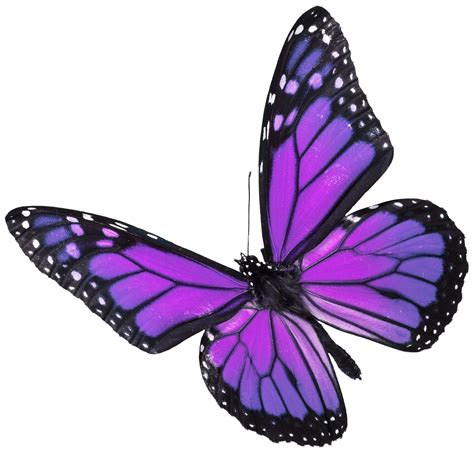 Butterfly P pictures of real purple butterflies www imgkid the