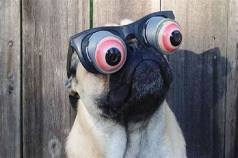pug with sunglasses pug with sunglasses the best sunglasses