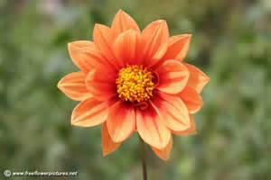 What Is A Dahlia Flower - dahlia flower picture flower pictures 3814