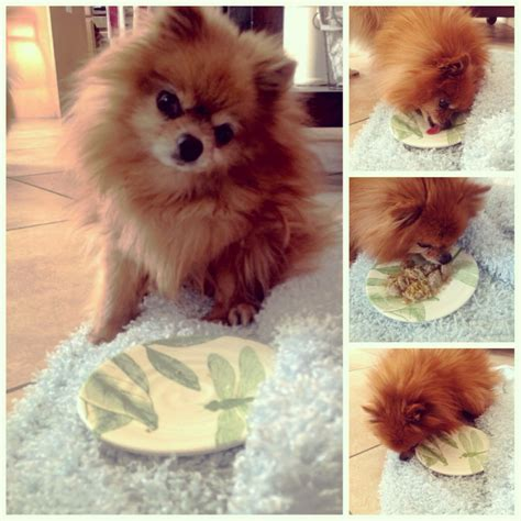 pomeranian foods to eat benefits of feeding a food diet to your pomeranian