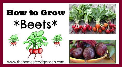 How To Cook Beets From The Garden by How To Grow Beets The Homestead Garden The Homestead