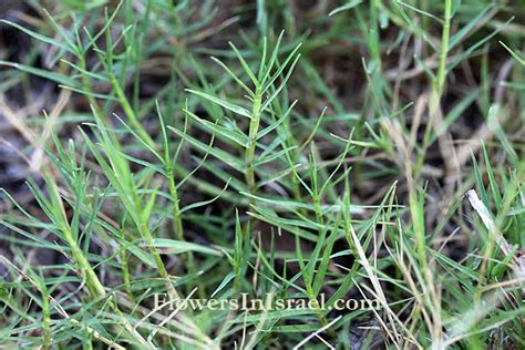 what are different kinds of lawn grass available in india