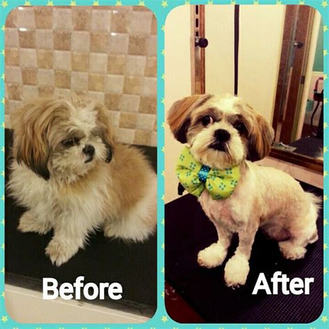 blonde shorkie haircuts shorkie dog haircuts before and after 255 best images