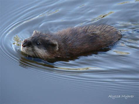 Sho Muskrat muskrat swimming muskrat swimming two away from me