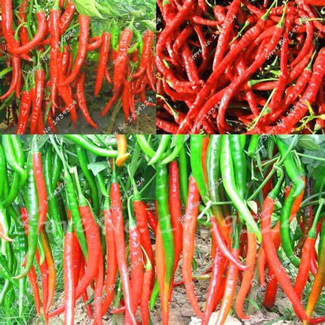 Min 100 Biji Benih Bunga Gazania tanaman cabai merah promotion shop for promotional tanaman