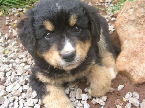 labernese puppies d 730 labernese puppy designer dogs i