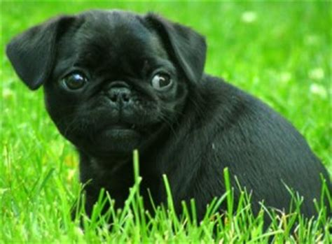 how much are pugs uk pug character www pugs co uk