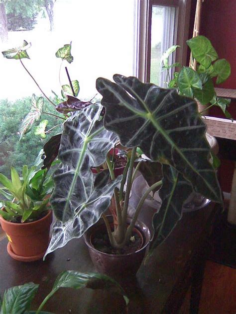 mystery plant elephant ears horticulture guy