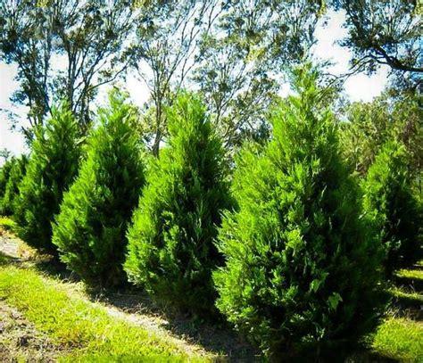 alberi da giardino sempreverdi alberi da giardino sempreverdi a crescita rapida