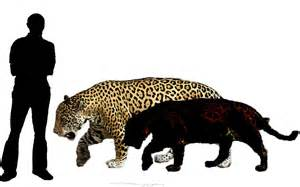 Jaguar Size And Weight In The Cenozoic Era Jaguar Panthera Onca