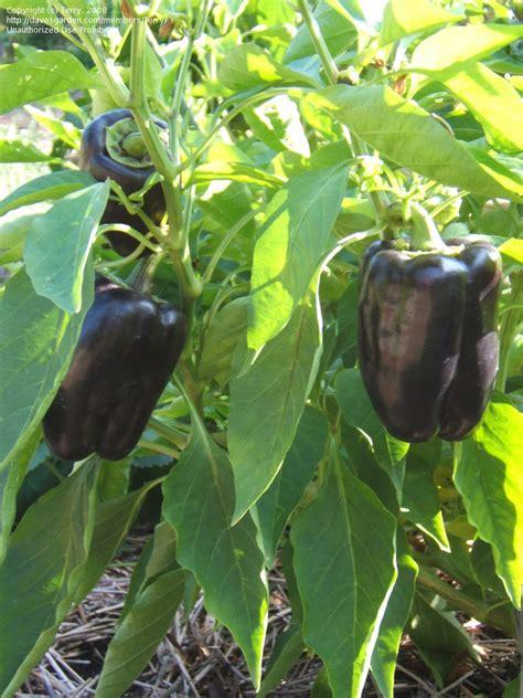 purple beauty bell pepper garden edible walls