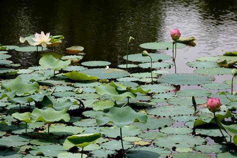 lotus garten mindrolling lotus garden usa mindrolling jets 252 n khandro