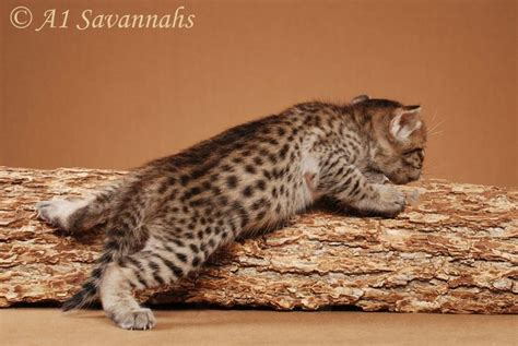 savannah house cat 311 best images about savannah cats on pinterest cats domestic cat breeds and