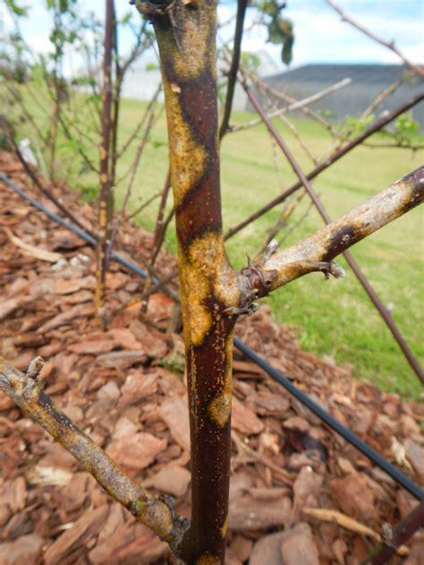 Brombeeren Krankheiten by Blackberry Diseases Mississippi Fruit And Nut