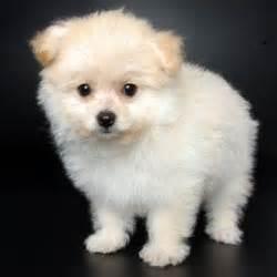 poodle pomeranian pompoo pomeranian poodle cuteness