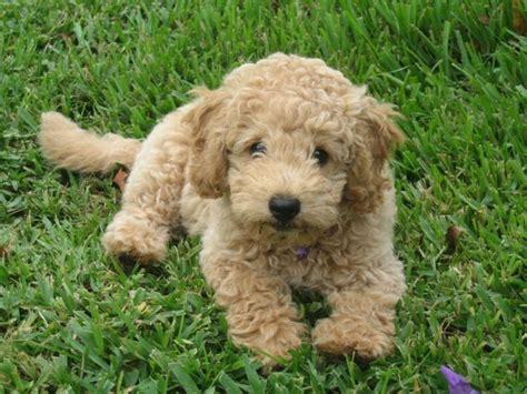 mini goldendoodle lifespan 17 best images about on poodles puppys