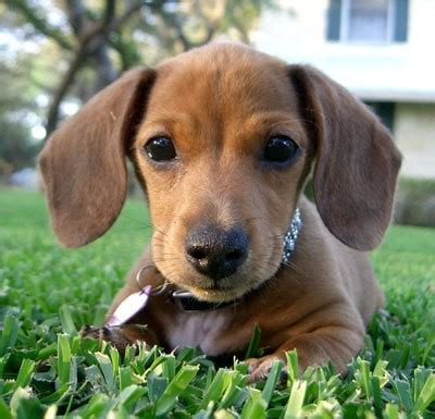 mini weiner dachshund breed information and photos thriftyfun