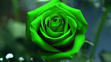 green rose tattoo green wallpapers pictures images