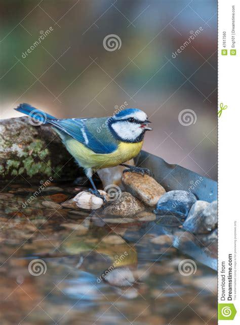 uccelli da giardino cinciarella beve ad una vaschetta per i uccelli