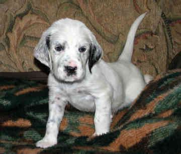 english setter dog pictures mr puppy pictures